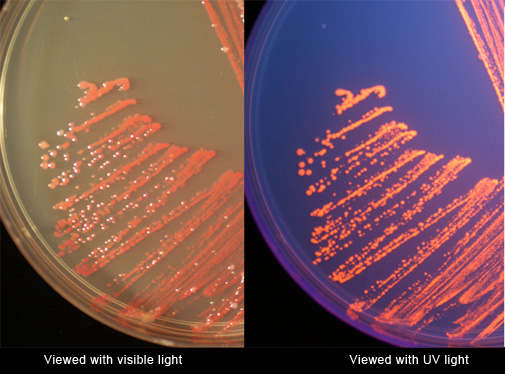 pglo transformation lab answers