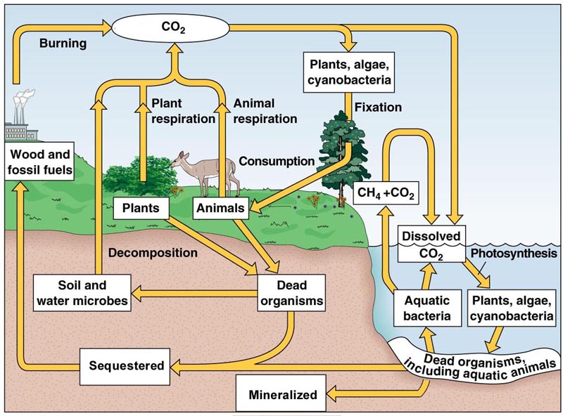carbon cycle diagram worksheet pdf choice image how to guide and refrence. Black Bedroom Furniture Sets. Home Design Ideas
